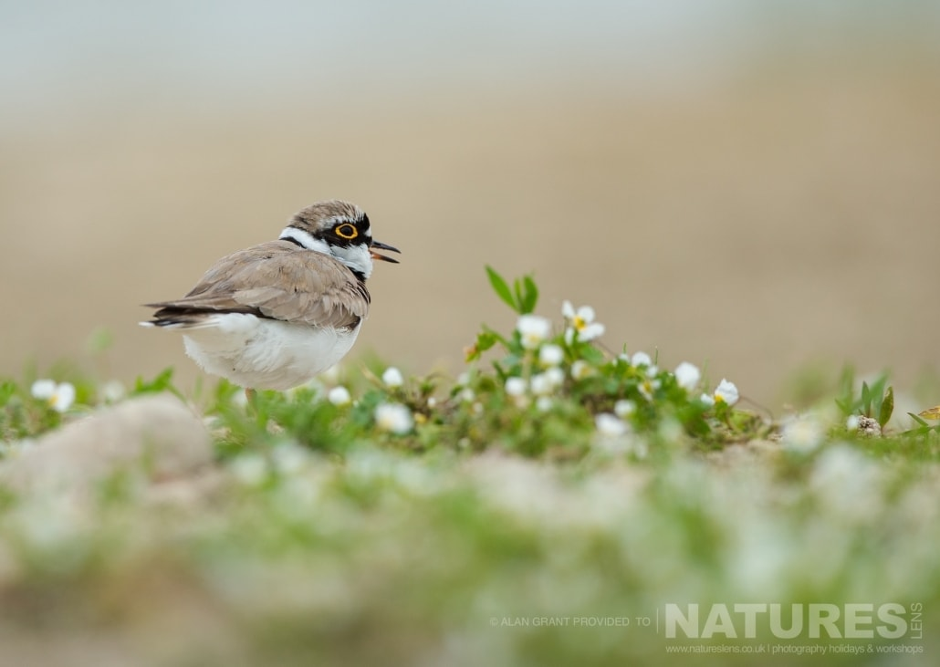 A little ringed plover found adjacent to the lake photographed on one of the pair of NaturesLens Wildlife Photography Holidays to capture images of the Birds of Spain
