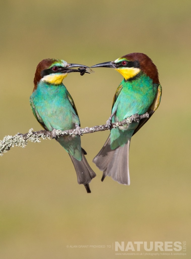 A pair of bee eaters perform the classic food pass photographed on one of the pair of NaturesLens Wildlife Photography Holidays to capture images of the Birds of Spain
