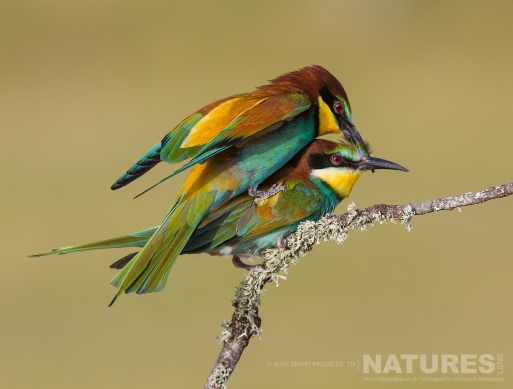 A pair of mating bee eaters photographed on one of the pair of NaturesLens Wildlife Photography Holidays to capture images of the Birds of Spain
