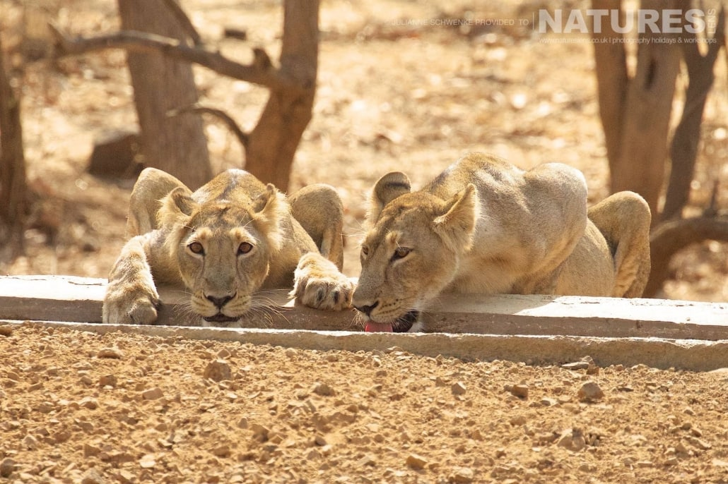 A pair of the Asiatic Lionesses at one of the various watering holes captured on the NaturesLens Asiatic Lions of Gir Photography Holiday