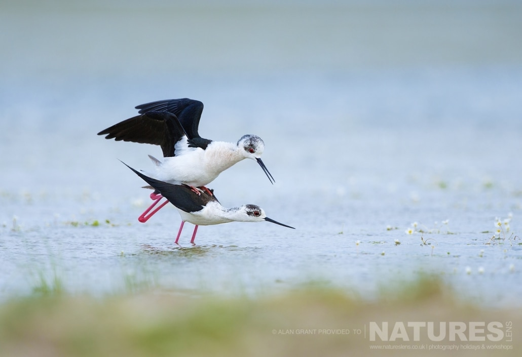 A pair of the Black Winged Stilts mating photographed on one of the pair of NaturesLens Wildlife Photography Holidays to capture images of the Birds of Spain