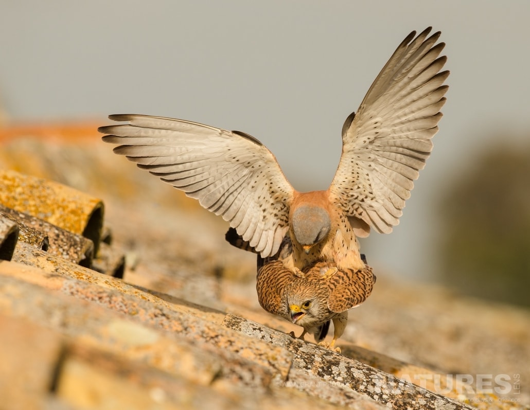 A pair of the Lesser Kestrels mating near their nesting site photographed on one of the pair of NaturesLens Wildlife Photography Holidays to capture images of the Birds of Spain