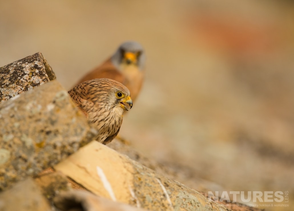 A pair of the Lesser Kestrels perched near their nesting site photographed on one of the pair of NaturesLens Wildlife Photography Holidays to capture images of the Birds of Spain