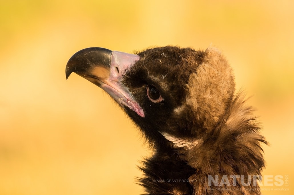 A portrait of the black vultures that frequent the vulture feeding site photographed on one of the pair of NaturesLens Wildlife Photography Holidays to capture images of the Birds of Spain