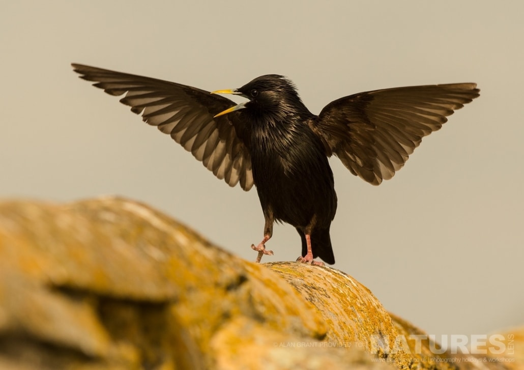 A spotless starling displaying near the Lesser Kestrel nesting site photographed on one of the pair of NaturesLens Wildlife Photography Holidays to capture images of the Birds of Spain