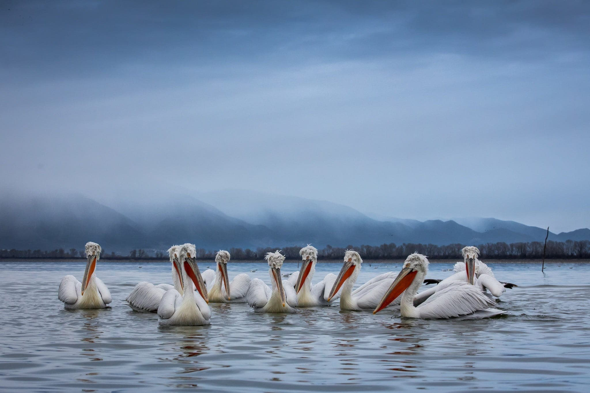 A Squadron Of Dalmatian Pelicans Floating On The Waters Of Lake Kerkini Photographed During The NaturesLens Dalmatian Pelicans Of Greece Photography Holiday