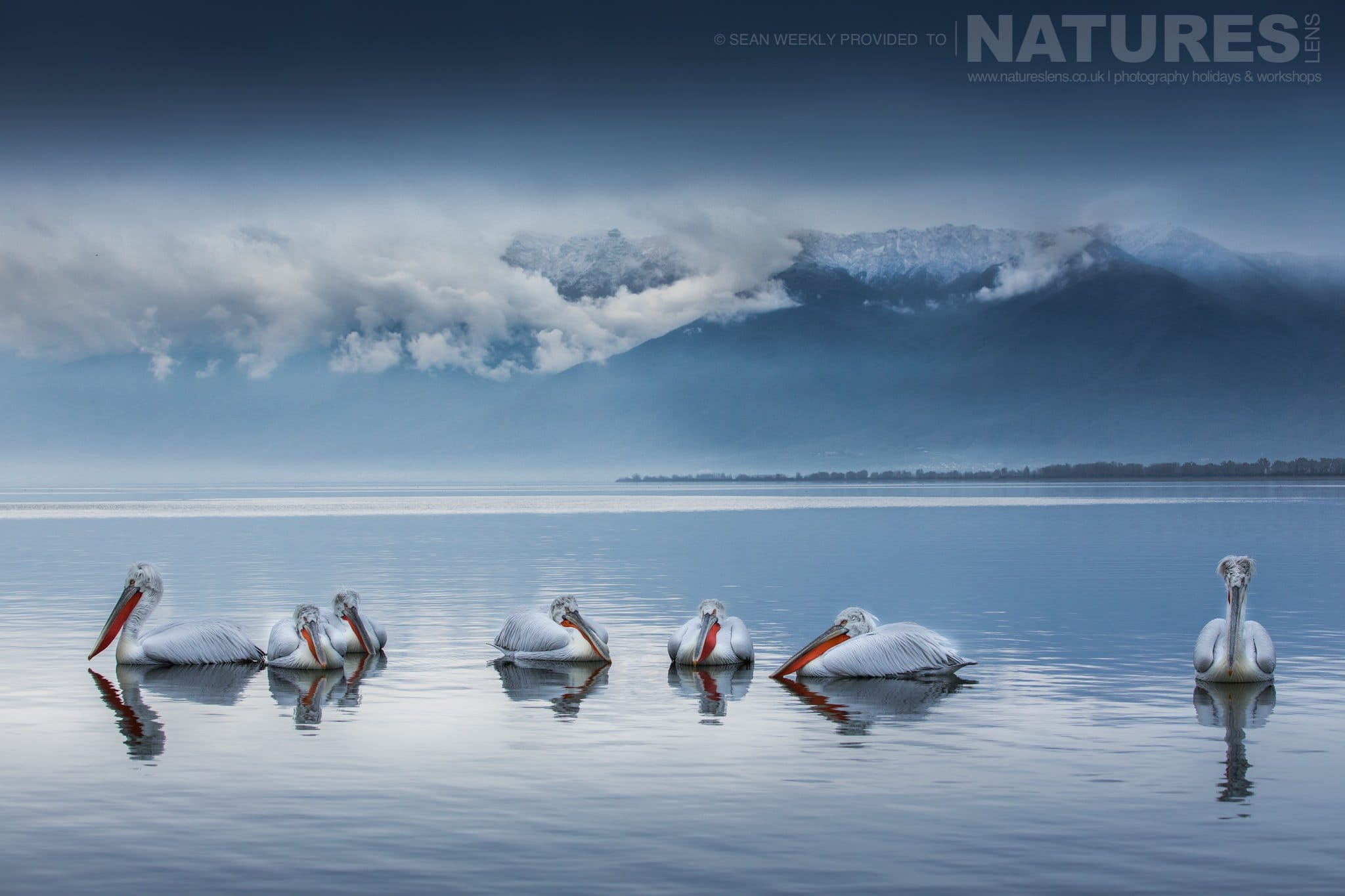 A Squadron Of Pelicans Floating On The Waters Of Lake Kerkini   Photographed During The NaturesLens Dalmatian Pelicans Of Greece Photography Holiday