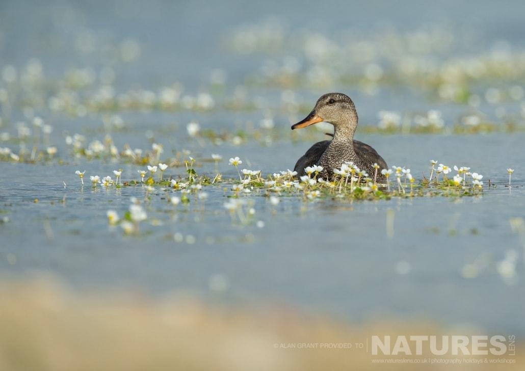 A water level shot of a Gadwall photographed on one of the pair of NaturesLens Wildlife Photography Holidays to capture images of the Birds of Spain