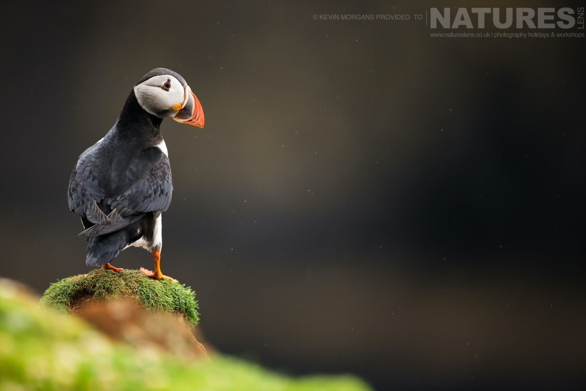 An Atlantic Puffin Poses On One Of Fair Isle's Headlands   Photographed During The NaturesLens Atlantic Puffins Of Fair Isle Photography Holiday