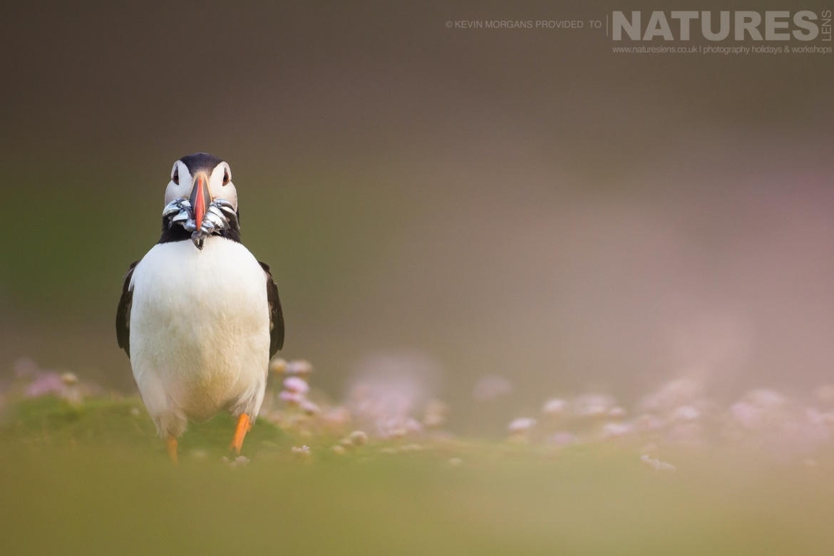 An Atlantic Puffin Poses With A Beak Full Of Sand Eels   Photographed During The NaturesLens Atlantic Puffins Of Fair Isle Photography Holiday