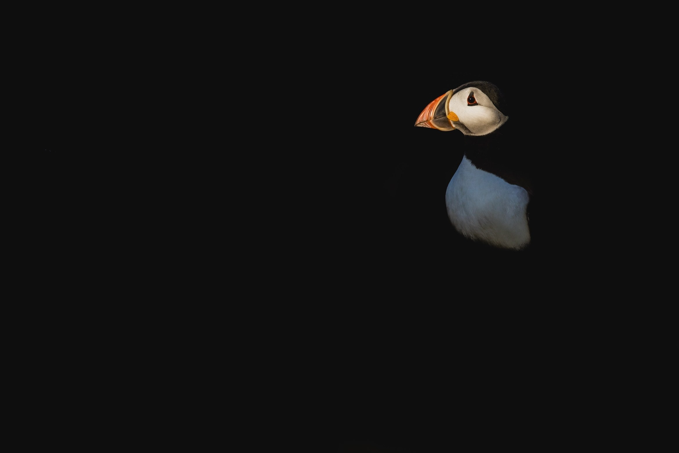An Atlantic Puffin Emerges From The Darkness   Photographed During The NaturesLens Atlantic Puffins Of Skomer Island Photography Holiday