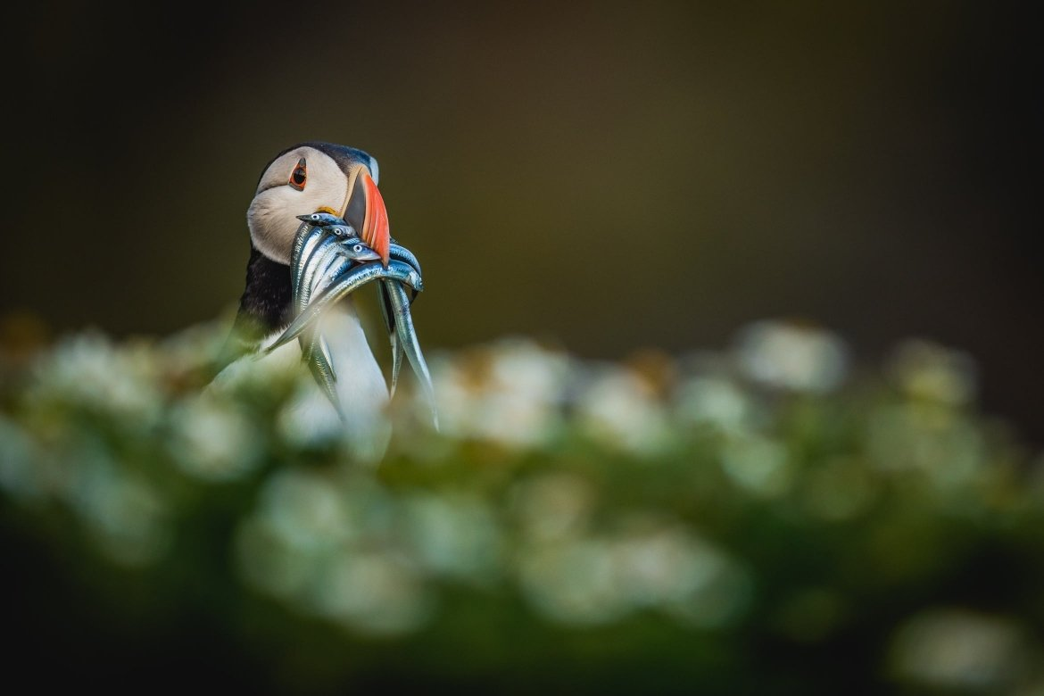 An Atlantic Puffin With A Beak Full Of Sand Eels   Photographed During The NaturesLens Atlantic Puffins Of Skomer Island Photography Holiday
