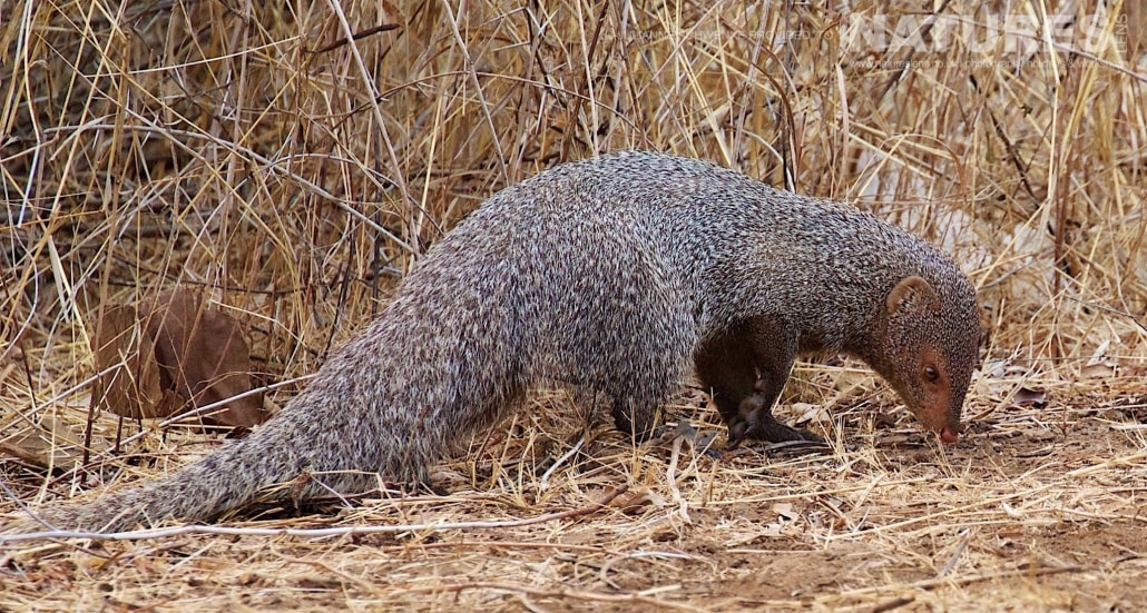 An image of a Mongoose captured on the Asiatic Lions of Gir Photography Holiday with NaturesLens