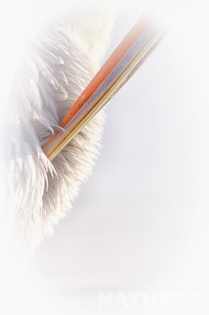Close up of the preening behaviour of one of the Dalmatian Pelicans image captured during the 2017 NaturesLens Dalmatian Pelican Photography Tour
