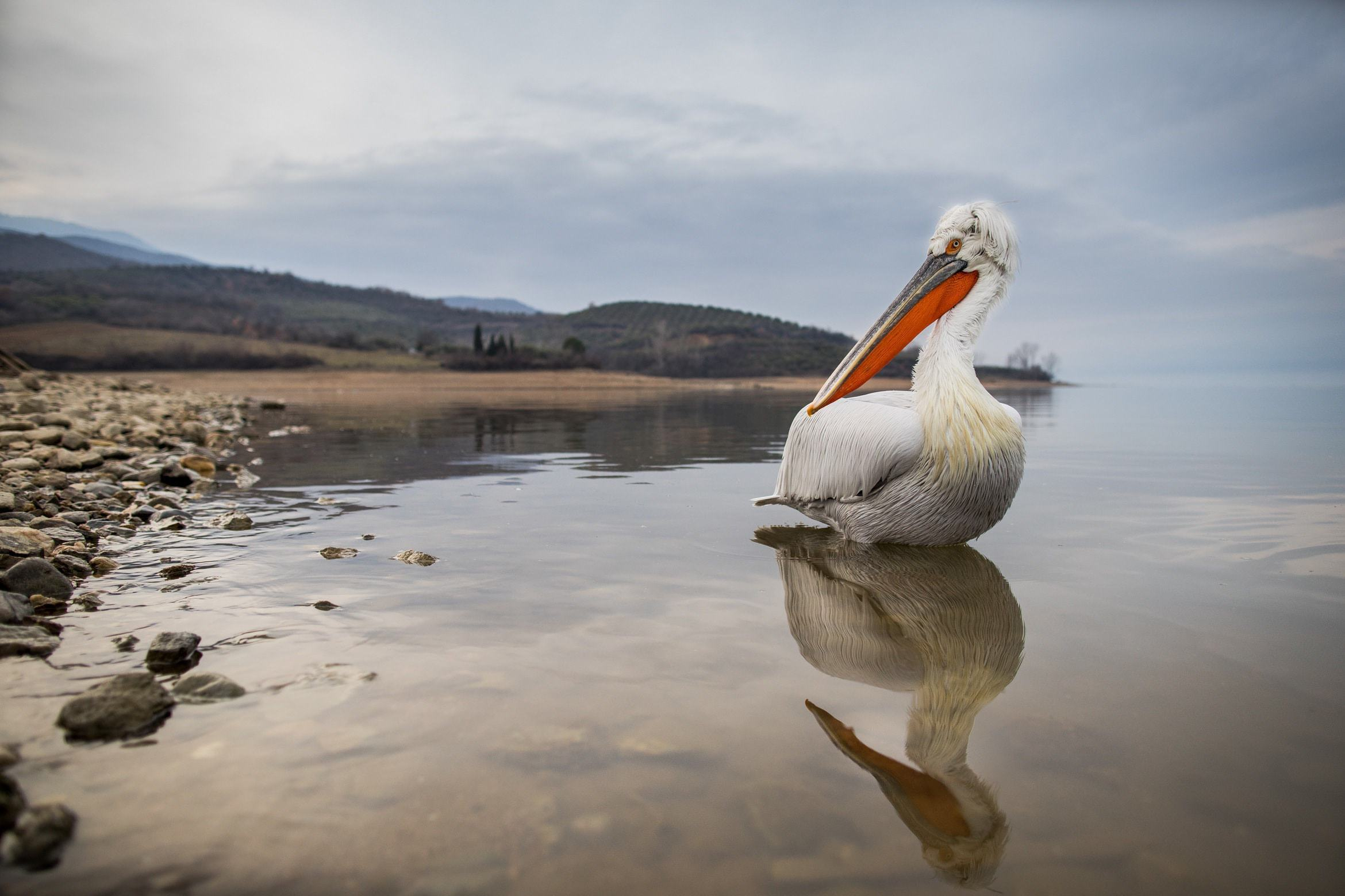 Example Of The Type Of Image That You Will Have Opportunities To Capture During The NaturesLens Dalmatian Pelicans Of Kerkini WIldlife Photograhpy Holiday