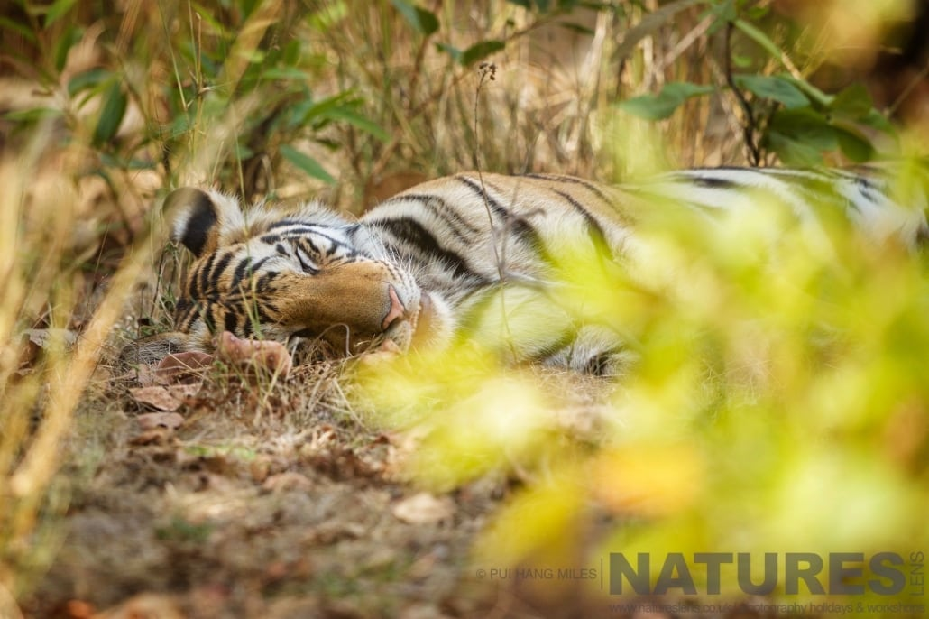 Fast asleep in the undergrowth one of the rising stars of Bandhavgarh having a sweet dream photographed on the 2017 Tigers of Bandhavgarh Safari Holiday