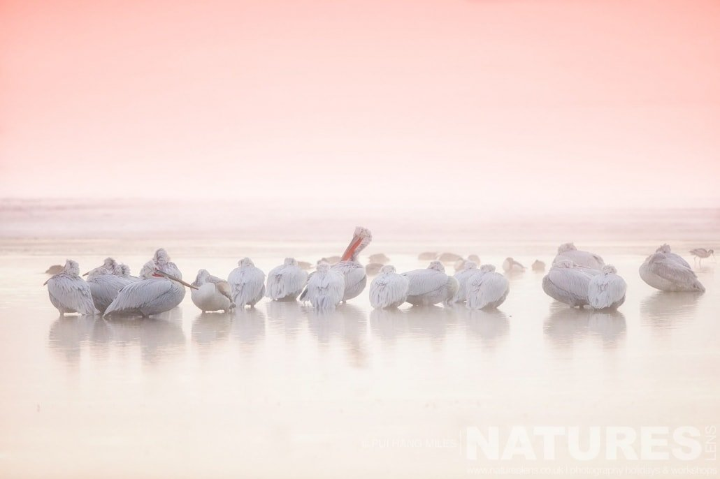 Kerkini's Pelicans at sunrise image captured during the 2017 NaturesLens Dalmatian Pelican Photography Tour