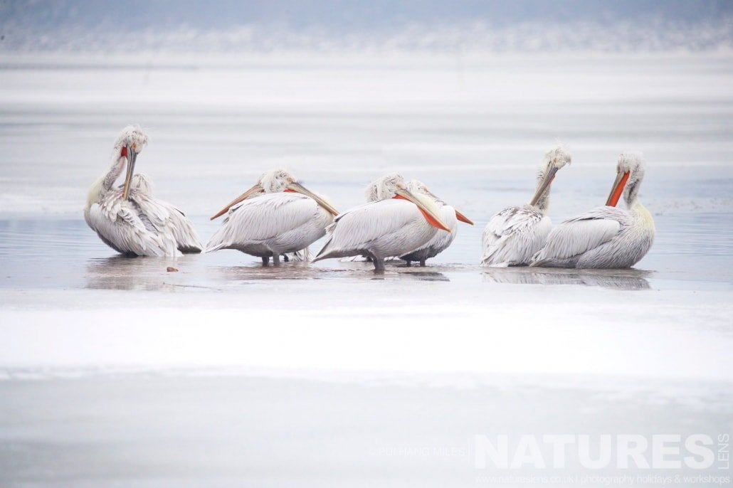 Kerkini's Pelicans preen themselves in the icy lake image captured during the 2017 NaturesLens Dalmatian Pelican Photography Tour