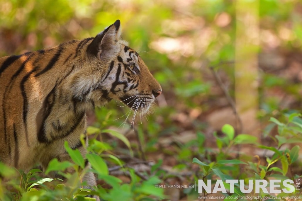 Looking out from the undergrowth, one of Bandhavgarh's new generation watches for prey photographed on the 2017 Tigers of Bandhavgarh Safari Holiday