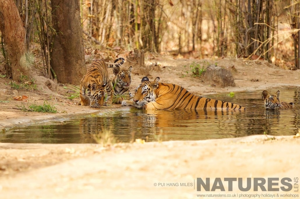 Mother & cubs, the feline family gathering at one of Bandhavgarh's water holes photographed on the 2017 Tigers of Bandhavgarh Safari Holiday