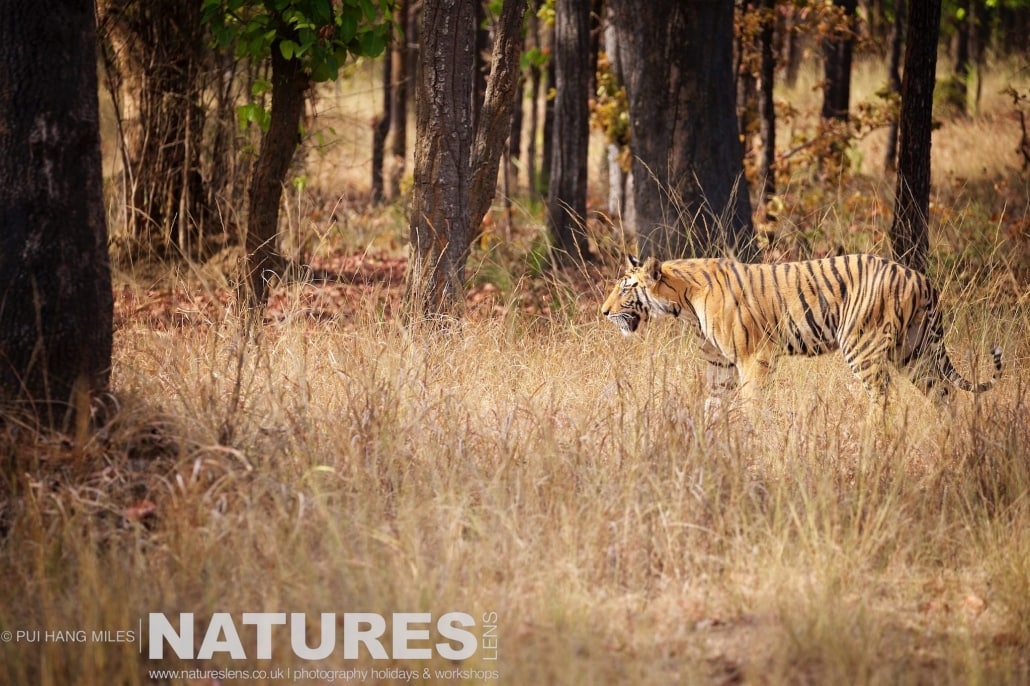 On the hunt, one of Bandhavgarh's tigers walking through the forest photographed on the 2017 Tigers of Bandhavgarh Safari Holiday