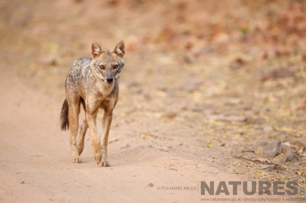 One of Bandhavgarh's jackals on the dusty road of the reserve photographed on the 2017 Tigers of Bandhavgarh Safari Holiday