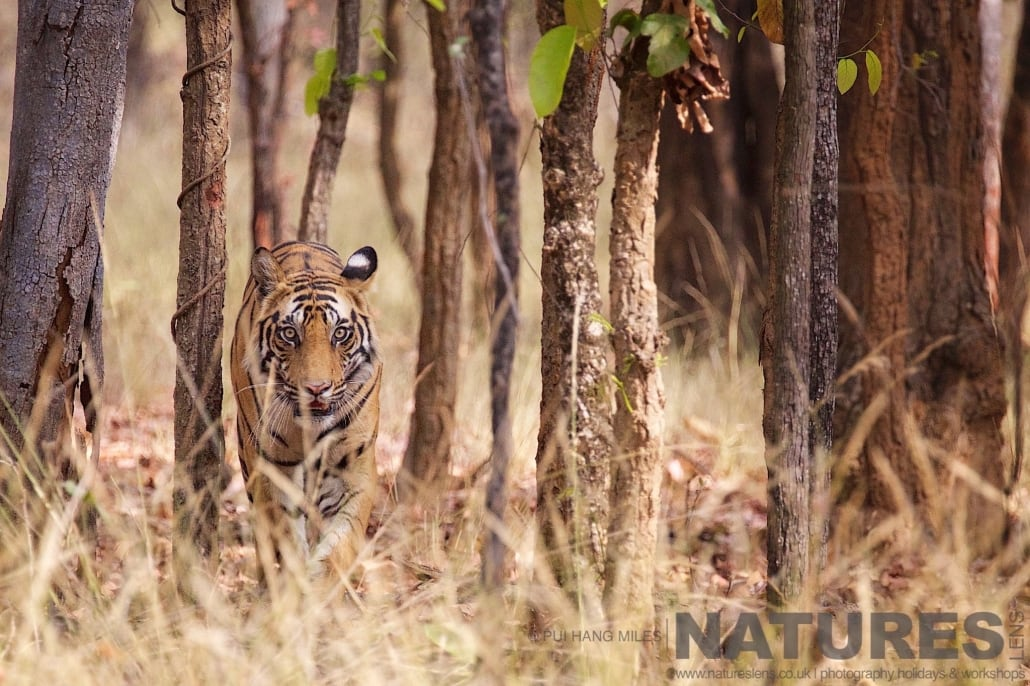 One of Bandhavgarh's tigers stares straight down the lens photographed on the 2017 Tigers of Bandhavgarh Safari Holiday