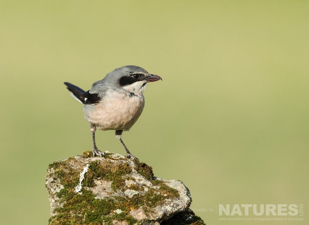 One of Calera's Southern Grey Shrikes photographed on one of the pair of NaturesLens Wildlife Photography Holidays to capture images of the Birds of Spain