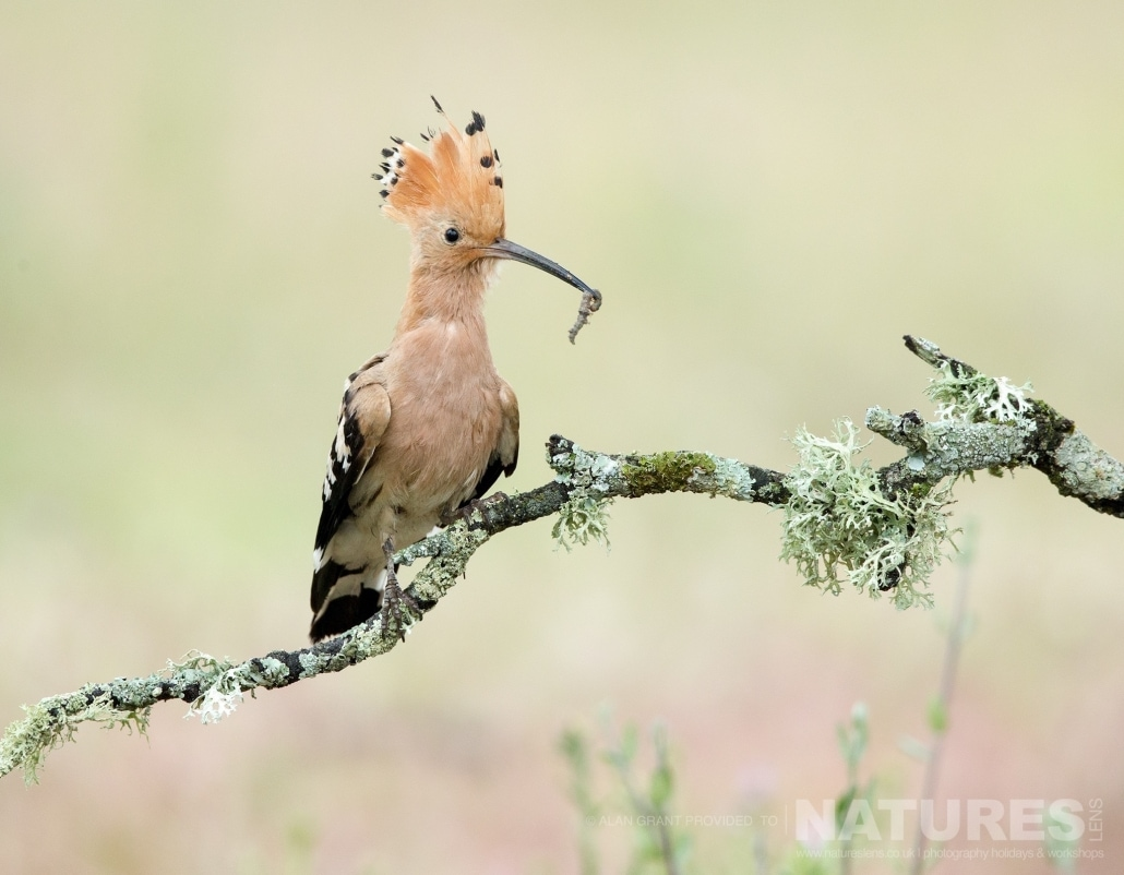 One of Calera's hoopoes photographed on one of the pair of NaturesLens Wildlife Photography Holidays to capture images of the Birds of Spain