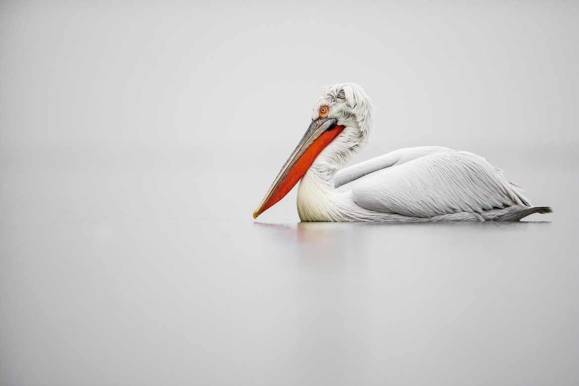 One Of Kerkini's Dalmatian Pelicans Drifts Serenely Across The Waters Of The Lake Photographed During The NaturesLens Dalmatian Pelicans Of Greece WIldlife Photograhpy Holiday