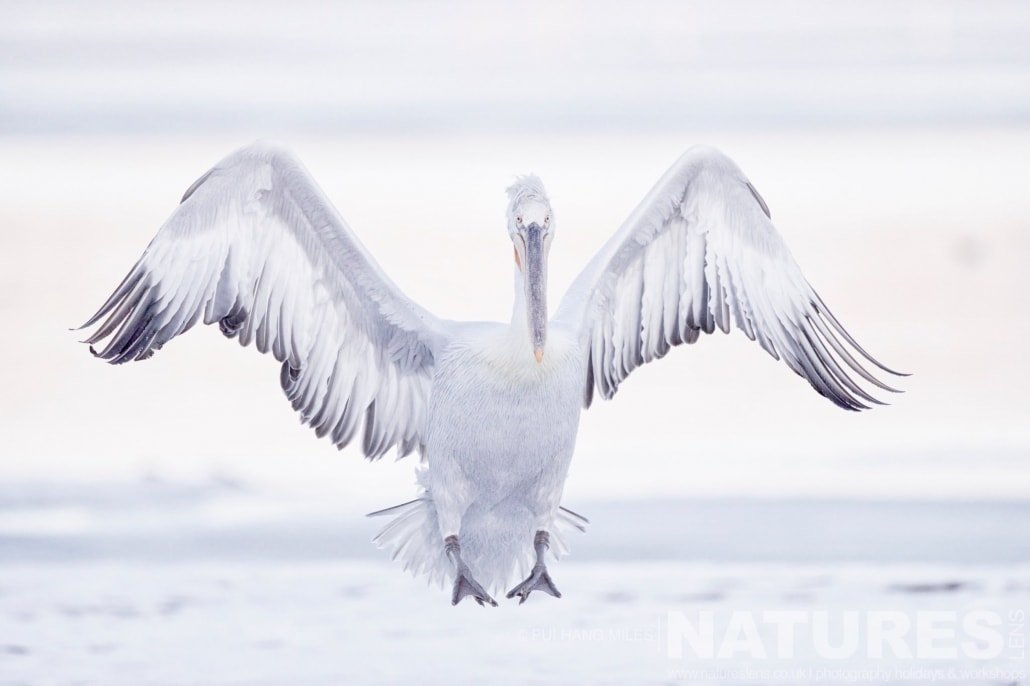 One of Kerkin's Dalmatian Pelicans gingerly lands on the white snowy landscape image captured during the 2017 NaturesLens Dalmatian Pelican Photography Tour