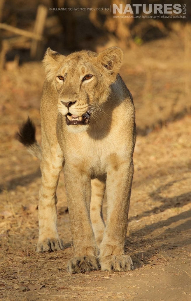 One of the Asiatic Lion cubs photographed on the NaturesLens Asiatic Lions of Gir Photography holiday