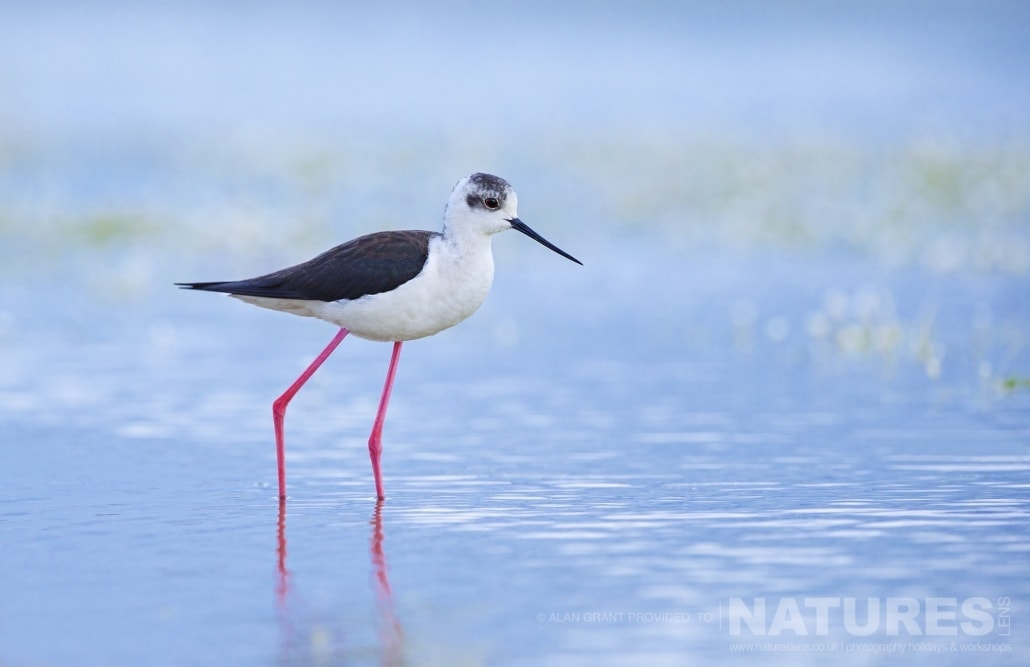 One of the Black Winged Stilts found at the Lake Hide photographed on one of the pair of NaturesLens Wildlife Photography Holidays to capture images of the Birds of Spain