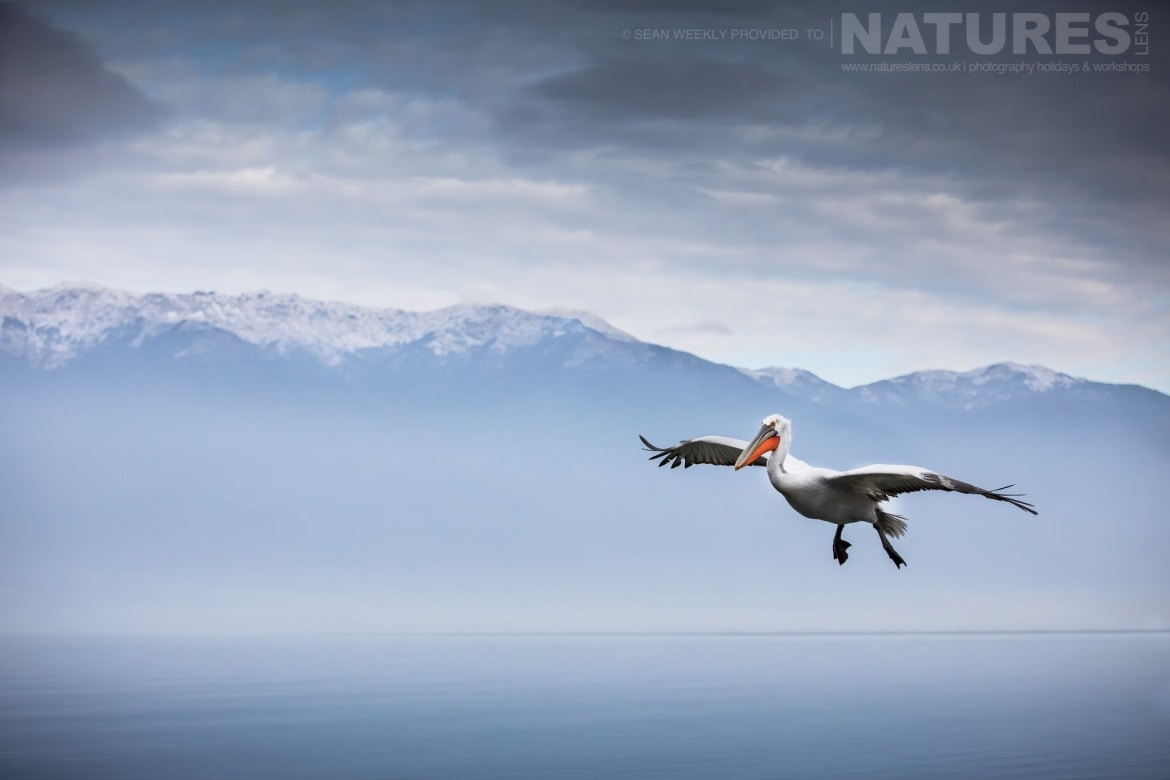 One Of The Dalmatian Pelicans Comes Into Land On Lake Kerkini Photographed During The NaturesLens Dalmatian Pelicans Of Greece Photography Holiday