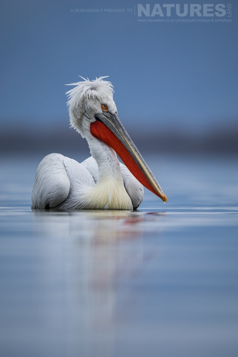 One Of The Dalmatian Pelicans Drifts On Lake Kerkini's Waters Photographed During The NaturesLens Dalmatian Pelicans Of Greece Photography Holiday