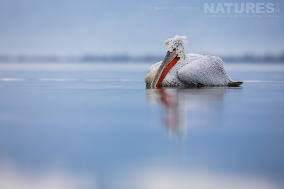 One Of The Dalmatian Pelicans Drifts On The Waters Of Kerkini   Photographed During The NaturesLens Dalmatian Pelicans Of Greece Photography Holiday