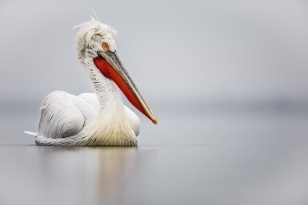One Of The Dalmatian Pelicas Drifts On The Waters Of Lake Kerkini   Photographed During The NaturesLens Dalmatian Pelicans Of Greece Photography Holiday