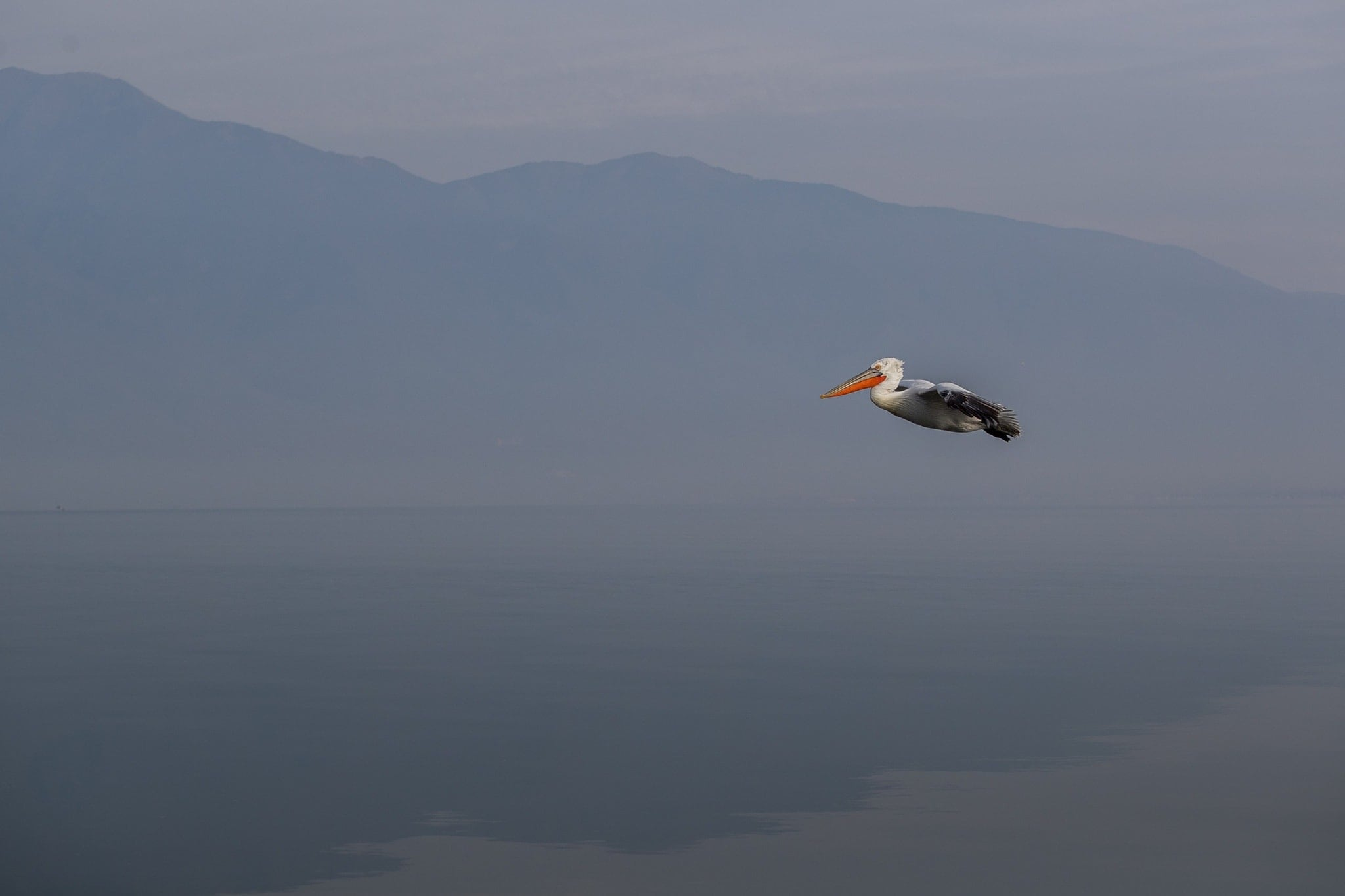 One Of The Dalmatian Pelicas Flies Above The Waters Of Lake Kerkini   Photographed During The NaturesLens Dalmatian Pelicans Of Greece Photography Holiday