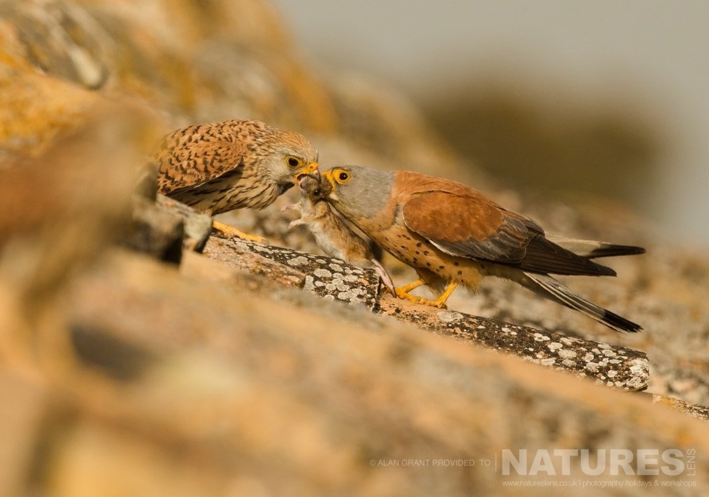 One of the Lesser Kestrels passes food to it's mate photographed on one of the pair of NaturesLens Wildlife Photography Holidays to capture images of the Birds of Spain