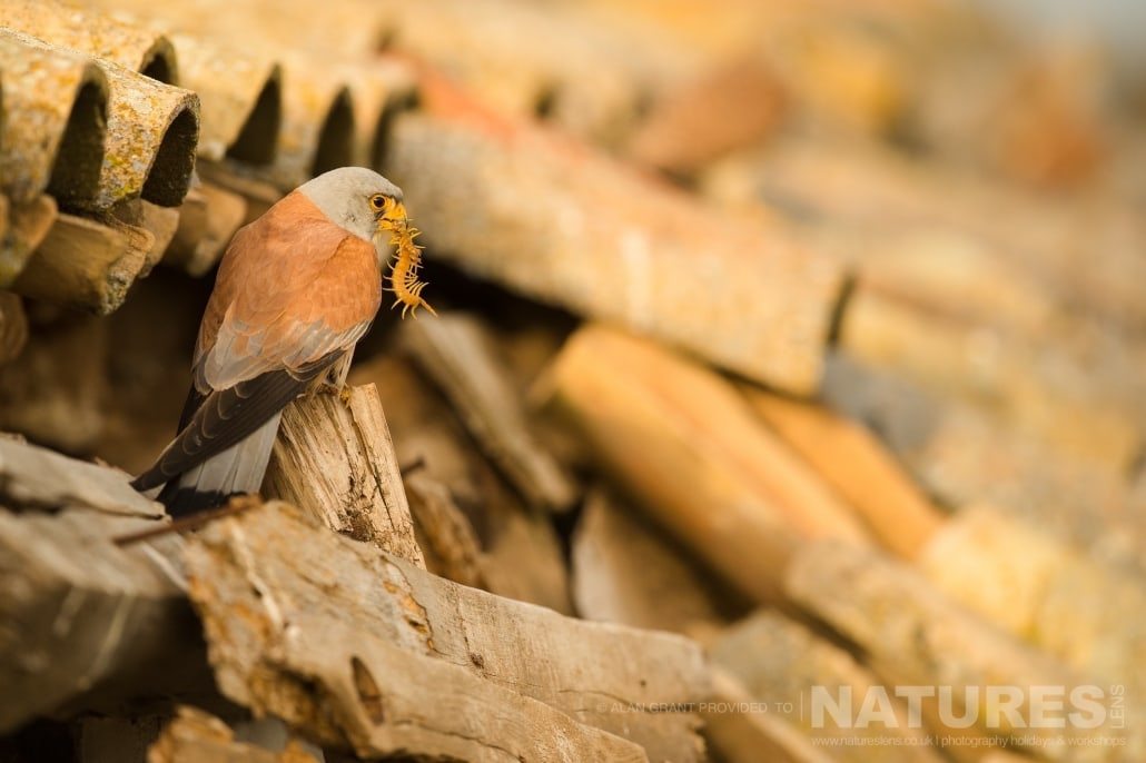 One of the Lesser Kestrels returns to nesting site with a freshly caught centipede photographed on one of the pair of NaturesLens Wildlife Photography Holidays to capture images of the Birds of Spain
