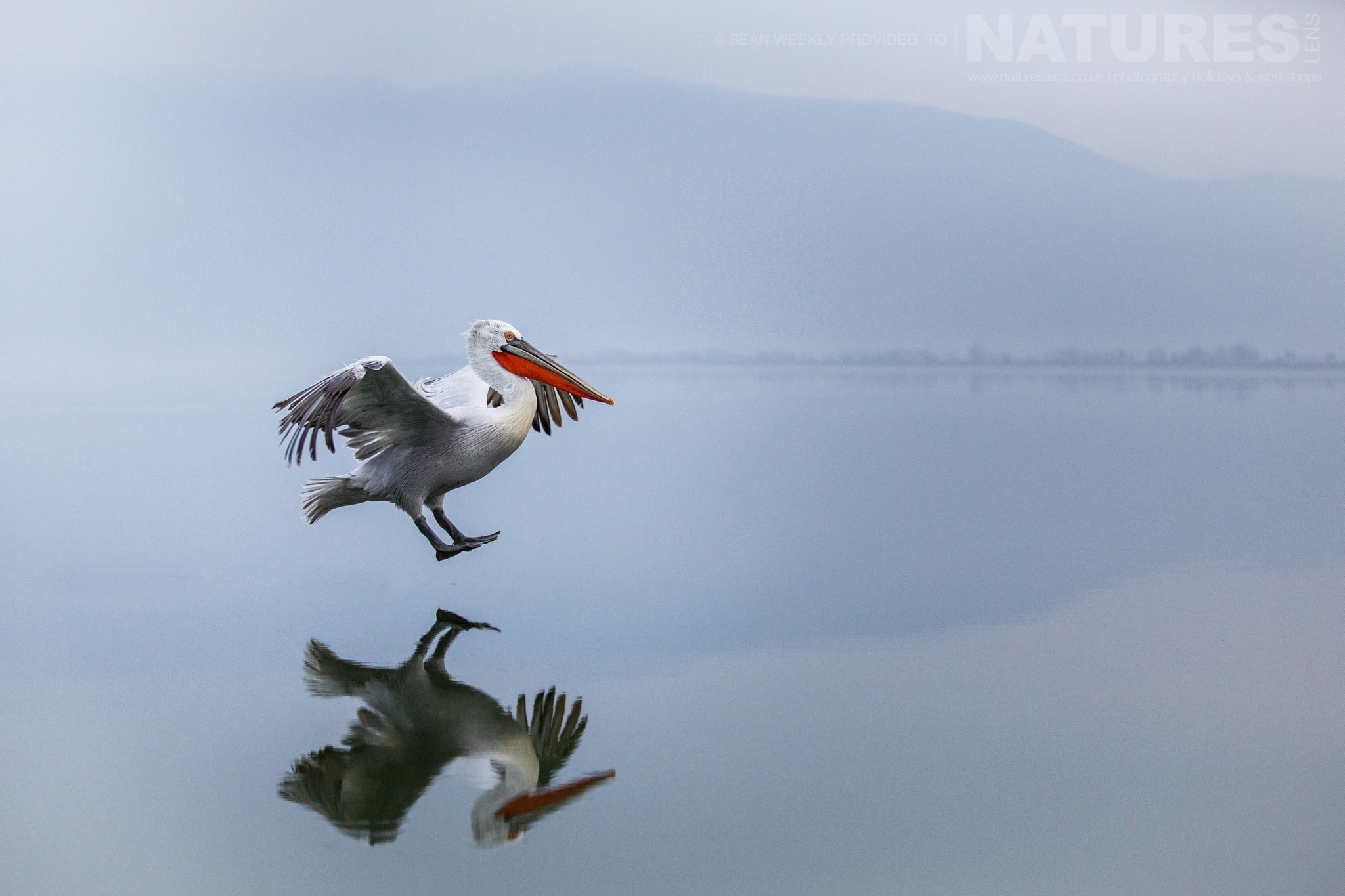 One Of The Pelicans Comes Into Land On Lake Kerkini   Photographed During The NaturesLens Dalmatian Pelicans Of Greece Photography Holiday