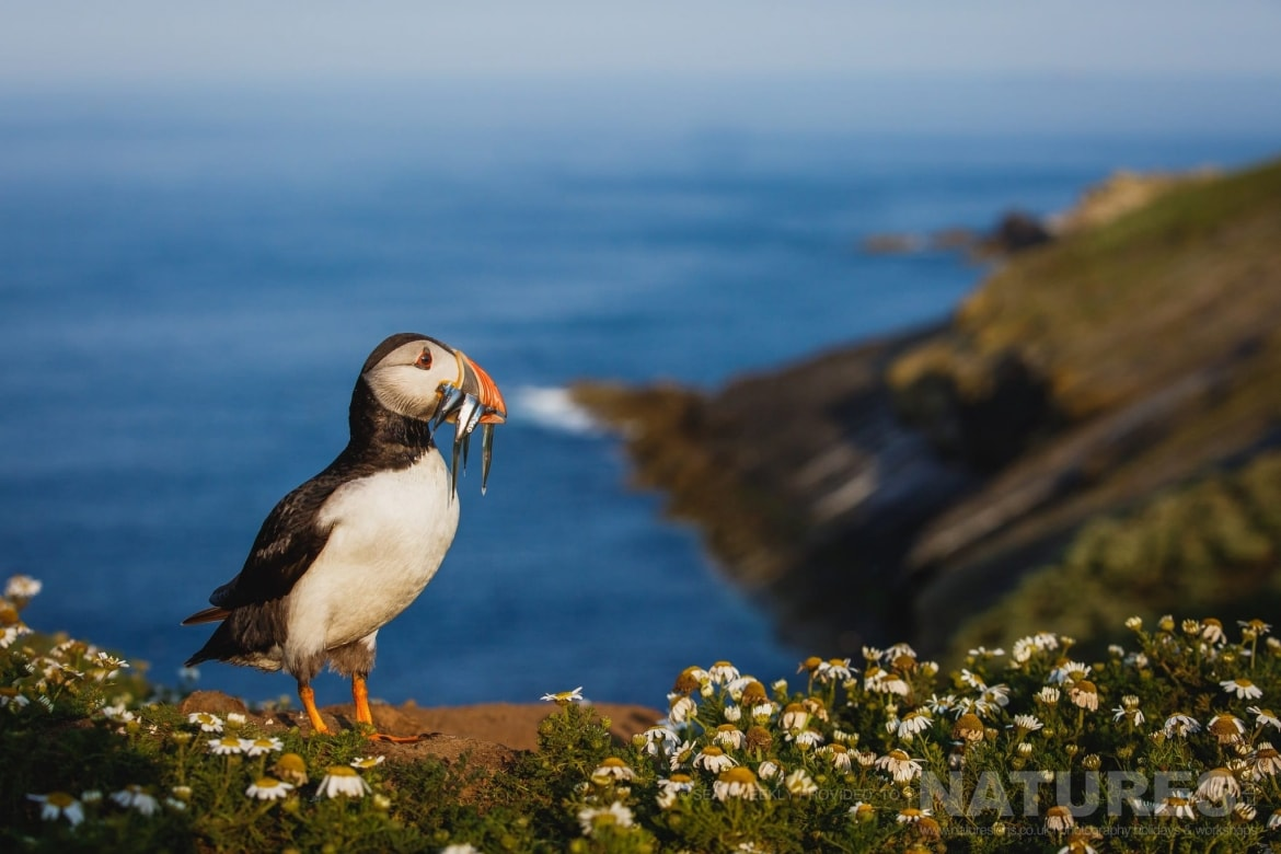 One Of The Puffins Of Skomer Island Poses At The Wick With A Mouth Full Of Sand Eels Photographed During The Atlantic Puffins Of Skomer Photography Holiday