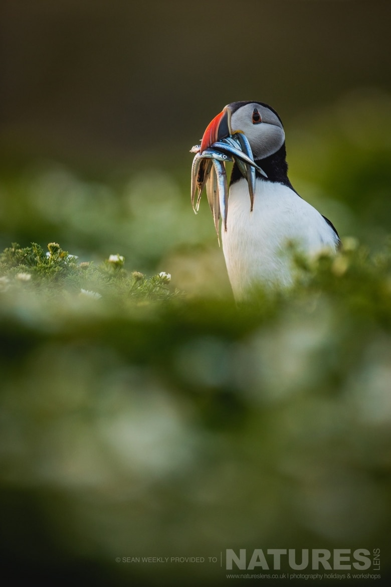 One Of The Puffins Of Skomer Island Returning To It's Burrow With A Mouth Full Of Sand Eels   Photographed During The Atlantic Puffins Of Skomer Photography Holiday