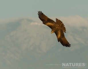 One of the black kites that circle the vulture feeding site photographed on one of the pair of NaturesLens Wildlife Photography Holidays to capture images of the Birds of Spain