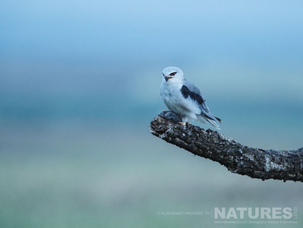 One of the black winged kites captured in the pastel hues of early morning photographed on one of the pair of NaturesLens Wildlife Photography Holidays to capture images of the Birds of Spain