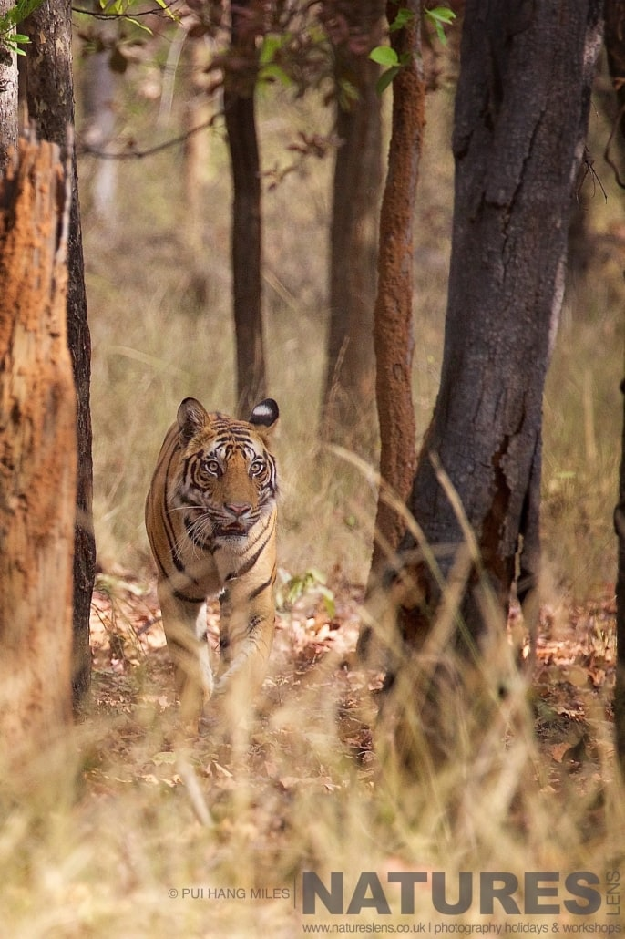 One of the juvenile tigers walking through the forest photographed on the 2017 Tigers of Bandhavgarh Safari Holiday
