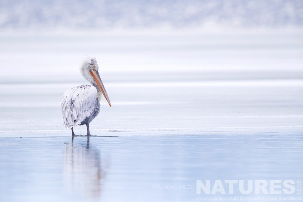 One of the pelicans stands in an icy Lake Kerkini image captured during the 2017 NaturesLens Dalmatian Pelican Photography Tour