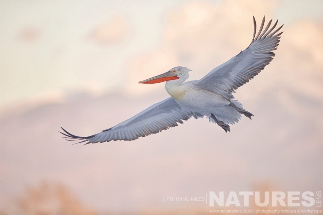 One of the pelicans takes flight in the golden light image captured during the 2017 NaturesLens Dalmatian Pelican Photography Tour