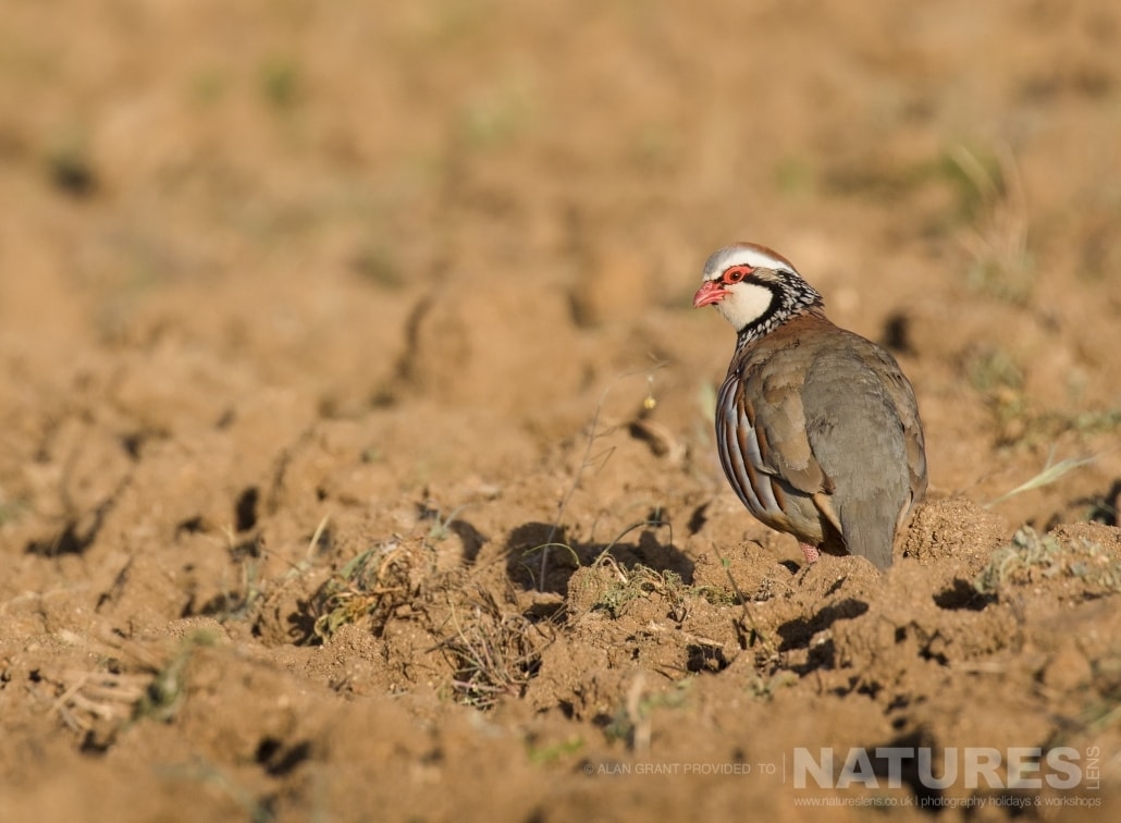 One of the red legged partridges found in the fields surrounding Calera photographed on one of the pair of NaturesLens Wildlife Photography Holidays to capture images of the Birds of Spain