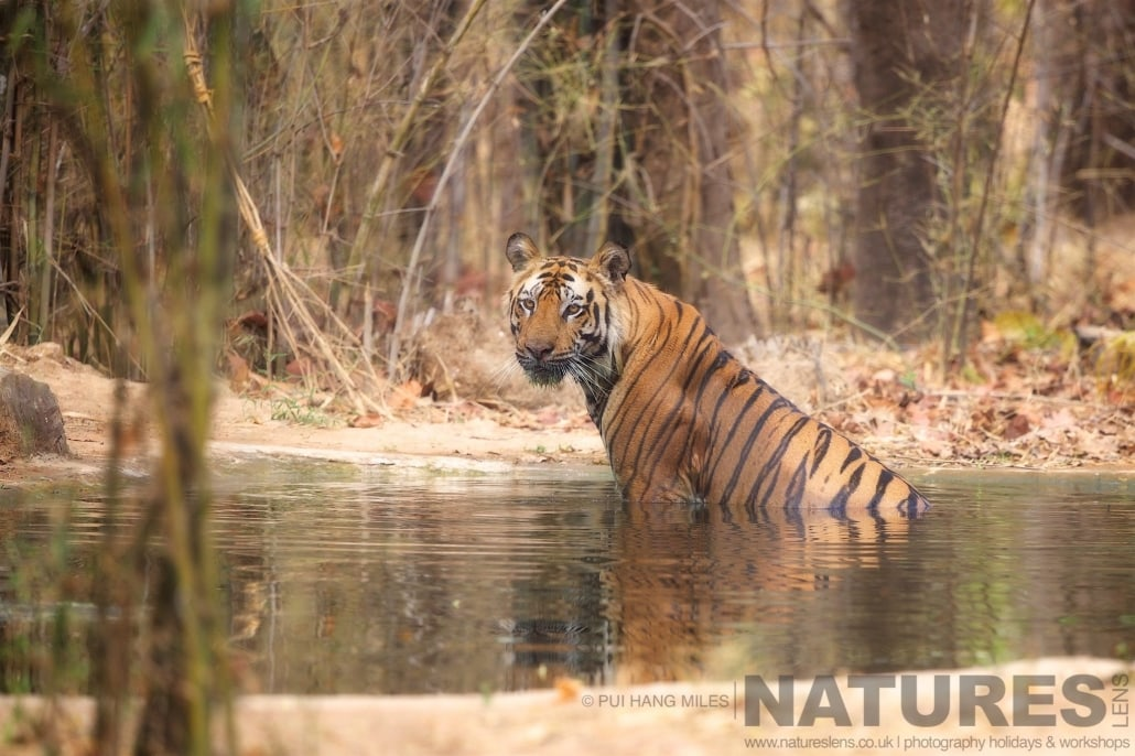 Relaxing in a waterhole, this is one of Bandhvgarh's tigers cooling off photographed on the 2017 Tigers of Bandhavgarh Safari Holiday